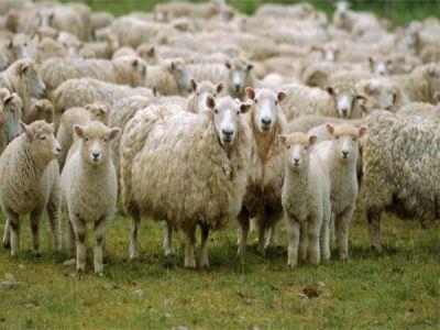 Romania, in topul tarilor europene cu cele mai mari efective de ovine