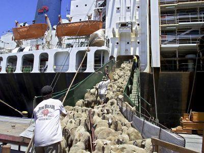 exportul-de-ovine-vii-in-tarile-arabe-a-devenit-vital-pentru-crescatorii-romani