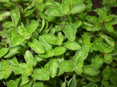 cultivarea-plantelor-aromatice-oregano-are-nevoie-de-mult-soare