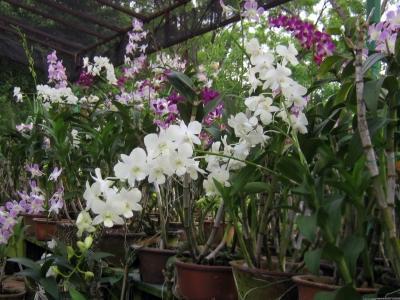 ingrijirea-orhideelor-cand-se-schimba-ghiveciul