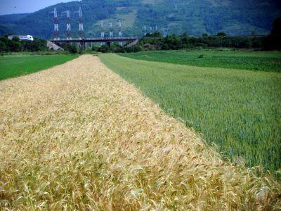 buletin-agrometeorologic-pentru-perioada-3-7-iulie