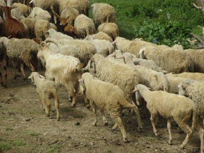 subventii-pentru-crescatorii-de-ovine-si-caprine-din-zonele-montane
