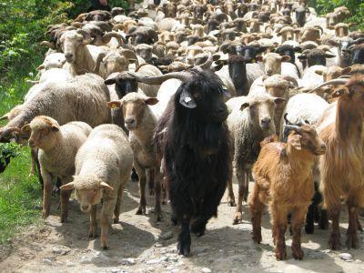 a-fost-majorat-bugetul-alocat-platilor-pentru-crescatorii-de-animale