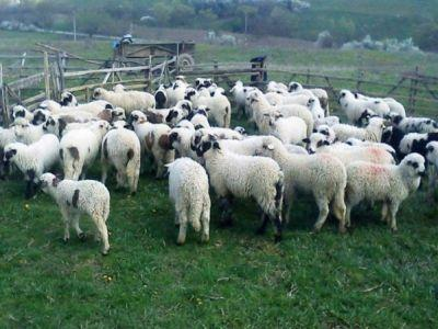 crescatorii-de-ovine-solicita-prelungirea-programului-de-incurajare-a-consumului-de-carne-de-oaie-precum-si-sprijin-financiar