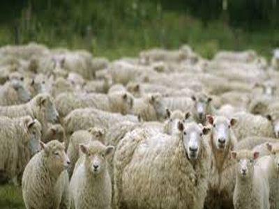 romania-printre-tarile-din-ue-cu-cel-mai-mare-efectiv-de-ovine