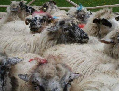 daniel-botanoiu-a-vizitat-bursa-de-ovine-de-la-costesti-judetul-hunedoara