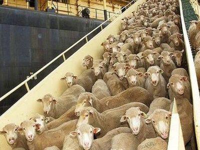 o-noua-piata-de-export-pentru-crescatorii-de-ovine-din-romania