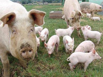situatia-la-zi-a-focarelor-de-pesta-porcina-si-a-despagubirilor-platite-fermierilor