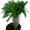 Pachypodium lamerei, palmierul de Madagascar
