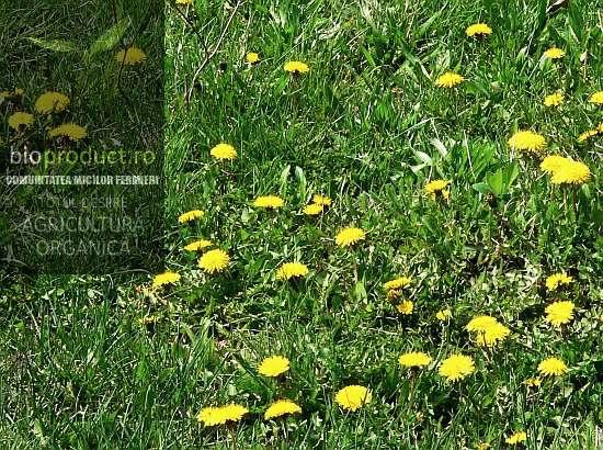 sufleu-cu-flori-de-papadie