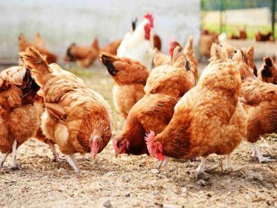 noi-prevederi-pentru-sprijinirea-fermierilor-din-sectorul-avicol