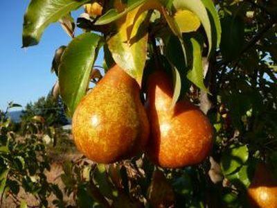 plantarea-pomilor-fructiferi-parul