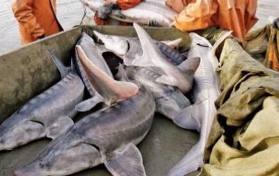 interzicerea-pescuitului-sturionilor-fara-oferirea-de-alternative-a-fost-considerata-un-esec