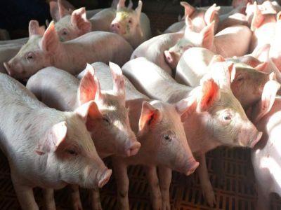 caz-de-pesta-porcina-descoperit-in-judetul-tulcea