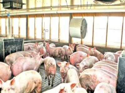 cel-mai-recent-bilant-al-pestei-porcine-africane