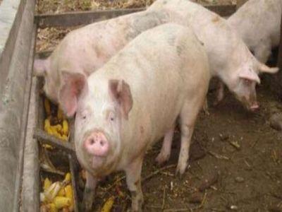 patru-noi-cazuri-de-pesta-porcina-descoperite-in-tulcea