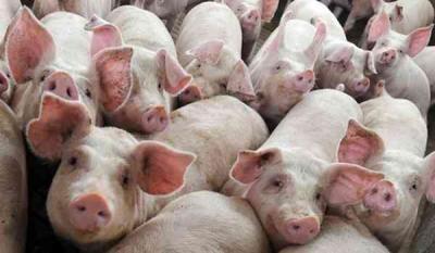 pesta-porcina-africana-se-raspandeste-din-nou-in-romania