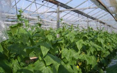 cel-mai-mare-producator-de-legume-de-langa-bucuresti-va-fi-afectat-de-cresterea-pretului-gigacaloriei
