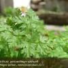 De identificat: patrunjel salbatic (sativum, hortense sau crispum)?