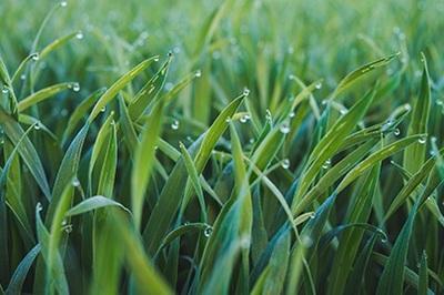 azotul-sub-forma-nitrica-pentru-fertilizarea-graului