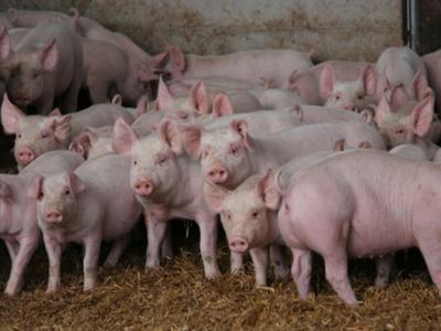 rusia-10000-de-porci-au-fost-exterminati-ca-urmare-a-cazurilor-de-febra-aftoasa