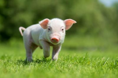 manastireanu-ansvsa-trebuie-sa-existe-reguli-de-crestere-a-porcului