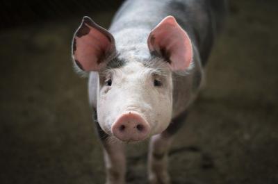 peste-16000-de-porci-infectati-cu-ppa-in-doar-7-zile