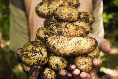 propunerea-fermierilor-plan-national-strategic-pentru-cartof