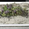Cum se planteaza cimbrisorul (thymus serpyllum) - vas, substrat, ingrijire