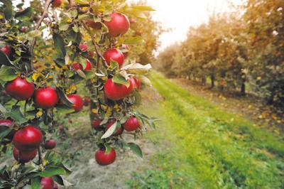taierea-pomilor-fructiferi-si-intretinerea-plantatiei