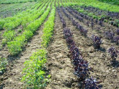 madr-modifica-reglementarile-din-domeniul-prelucrarii-procesarii-si-comercializarii-plantelor-medicinale-si-aromatice