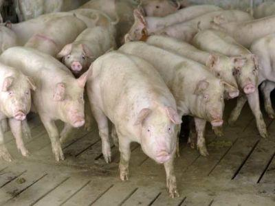 in-ce-conditii-se-acorda-despagubiri-pentru-pesta-porcina-africana