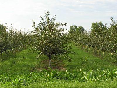 pomi-fructiferi-plantare-ingrijire-combatere-daunatori