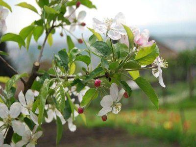 tratamente-fitosanitare-care-trebuie-aplicate-in-livezi-in-perioada-repausului-vegetativ