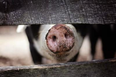 ansvsa-porcii-nu-mai-pot-fi-crescuti-in-spatii-improvizate-in-aer-liber-conditiile-noi-sunt-draconice