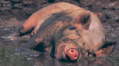 porcii-nu-mai-pot-fi-hraniti-cu-laturi