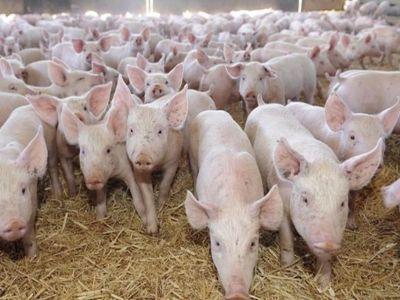 efectivele-de-porci-din-fermele-romanesti-in-scadere-fata-de-anul-trecut