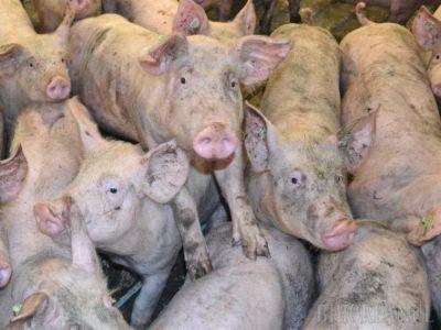 situatia-actualizata-a-evolutiei-pestei-porcine-africane-si-a-despagubirilor-acordate
