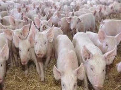 pesta-porcina-africana-a-ajuns-la-cea-mai-mare-ferma-de-porci-din-romania