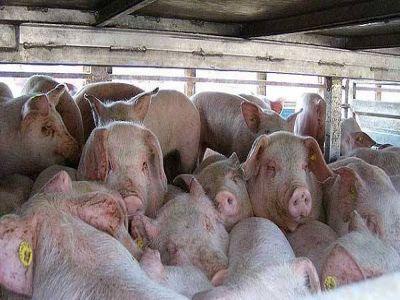 un-transport-de-porci-vii-catre-republica-moldova-blocat-de-cateva-zile-in-vama-albita