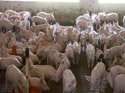 crescatorii-ingrijorati-de-scaderea-continua-a-efectivelor-de-porcine