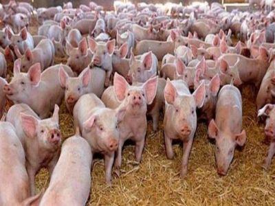 despagubirile-pentru-pesta-porcina-africana-au-depasit-12-milioane-de-euro