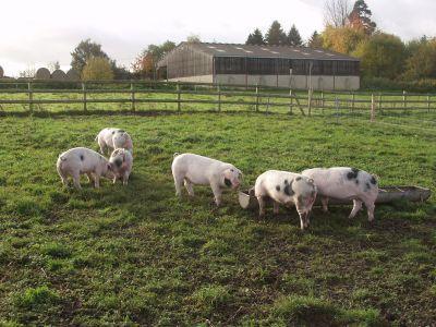 cresterea-porcilor-in-gospodariile-populatiei-nu-va-fi-restrictionata-in-niciun-fel