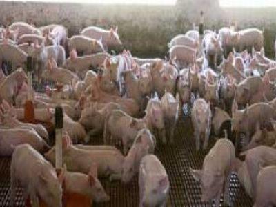 programul-carne-de-porc-in-fermele-romanesti-asteapta-acceptul-comisiei-europene