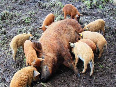 primele-plati-catre-furnizori-in-cadrul-programului-de-sustinere-a-raselor-de-porci-bazna-si-mangalita