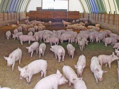 legea-privind-schema-de-ajutor-pentru-crescatorii-de-porci-trimisa-la-reexaminare