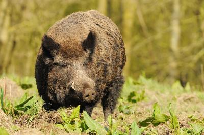 salaj-culturile-agricole-puse-in-pericol-de-porcii-mistreti