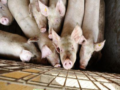 peste-44500-de-porci-sacrificati-la-tulcea-dupa-confirmarea-virusului-pestei-porcine-africane