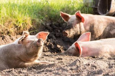 ansvsa-porcii-morti-de-ppa-din-comuna-macea-incinerati