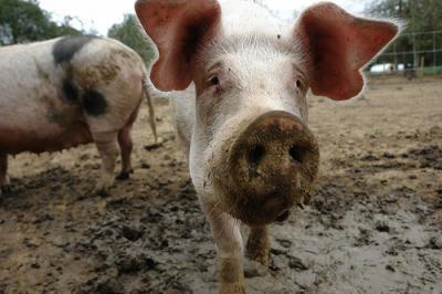 crescatorii-de-porci-din-romania-vor-putea-exporta-din-nou-in-tarile-ue